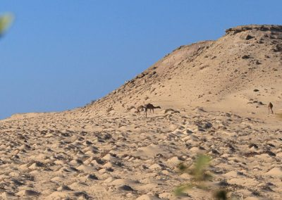 Picture of camels by sand dunes behind Dakhla Kitesurf World Hotel